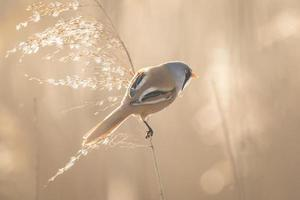 Bearded reedling (Panurus biarmicus) singing
