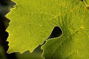 hoja de uva retroiluminada
