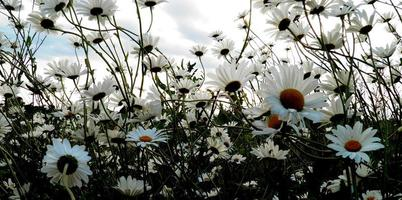 Daisy and more Daisies