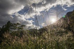 Japanese Pampas Grass photo