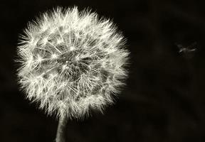 Dandelion, black white photo