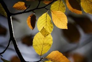 hojas de haya en otoño