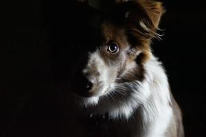 Silhouette of a Border Collie