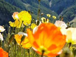 alpine poppy (papaver alpinum)