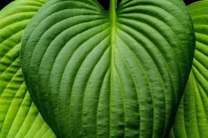 patrones de hojas de hosta en luz dramática foto