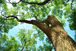 mirar hacia arriba a los exuberantes árboles de alcanfor foto