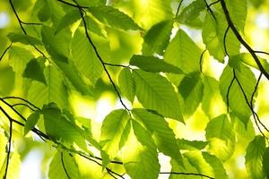 Green spring leaves photo
