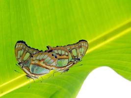 Malachite butterflies mating on leaf.  Siproeta stelenes. photo