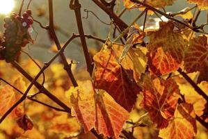 autumn in vineyard photo
