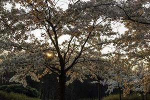 Richly blossoming cherry tree garden with the sun shining throug