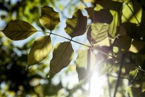Backlit leaves photo