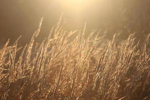 Backlit grass photo