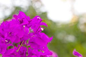 Purple bougainvillea blooms flowers photo
