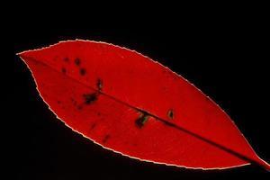 hoja roja