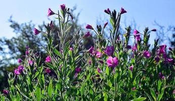 Wild and Pink Epilobium hirsutum photo