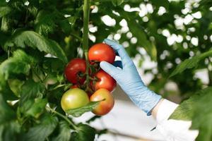 Científico de alimentos mostrando tomates en invernadero