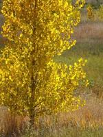 Backlit cottonwood tree photo