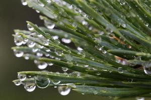 Rain drops on pine tree