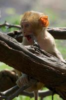 Baby rhesus macaque biting a branch
