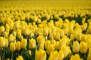 Group of yellow tulips in the field photo