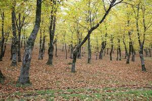 Chestnut wood photo