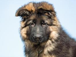 German shepherd puppy dog outdoors in nature photo