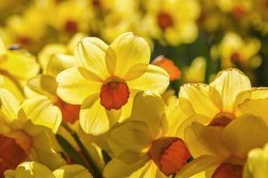 narcisos amarillos foto