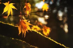 hermosas hojas doradas de otoño con luz de fondo brillante del sol foto