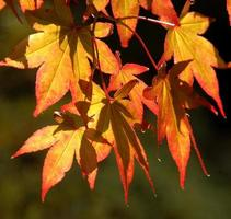 Russet colored leaves.