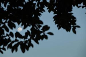 lune encadrée de feuilles au crépuscule