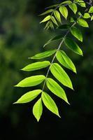 hojas jóvenes de la nuez retroiluminada
