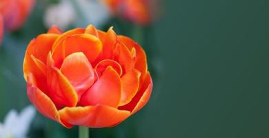 Red flower tulip. copy space
