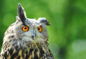 funny Eurasian Eagle Owl with copy space