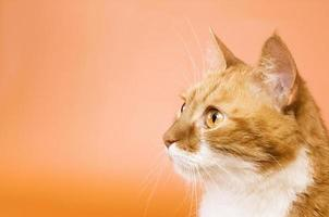 curioso gato mirando. copia espacio