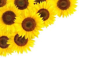 Sunflowers border with white copy space