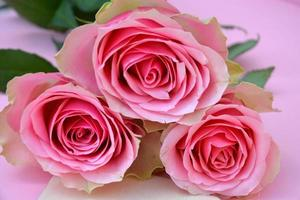 pink painted empty copy space background with roses photo