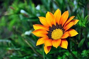 Orange Gazania daisy flower close up with copy space photo