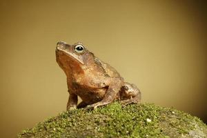 crested toad amphibian of tropical rainforest with copy space