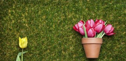 Tulips on grass, flowerpot and yellow tulip isolated, copy space