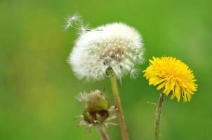Dandelion that skip seed