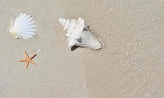 Conch seashell on sand. Copy space