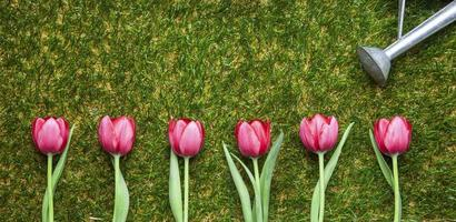 Row of tulips on grass, pink, copy space