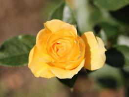 yellow lovely rose