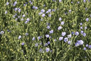 Close  Up Flax