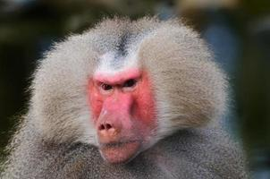 babuíno de perto