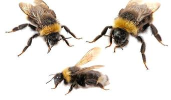 primer plano de abejorro foto