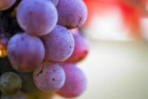 Wine grapes close-up photo