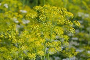 Dill flowers close-up