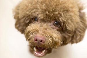 Close up Poodle face