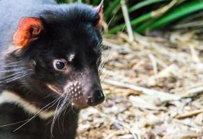Tasmanian Devil Close Up photo